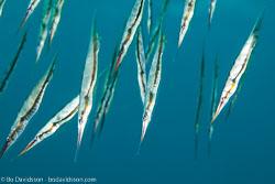 BD-130406-Tulamben-0647-Centriscus-scutatus.-Linnaeus.-1758-[Grooved-razor-fish].jpg